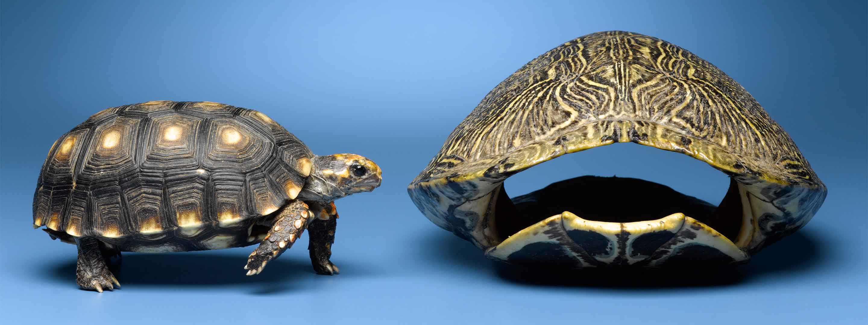 turtle and shell